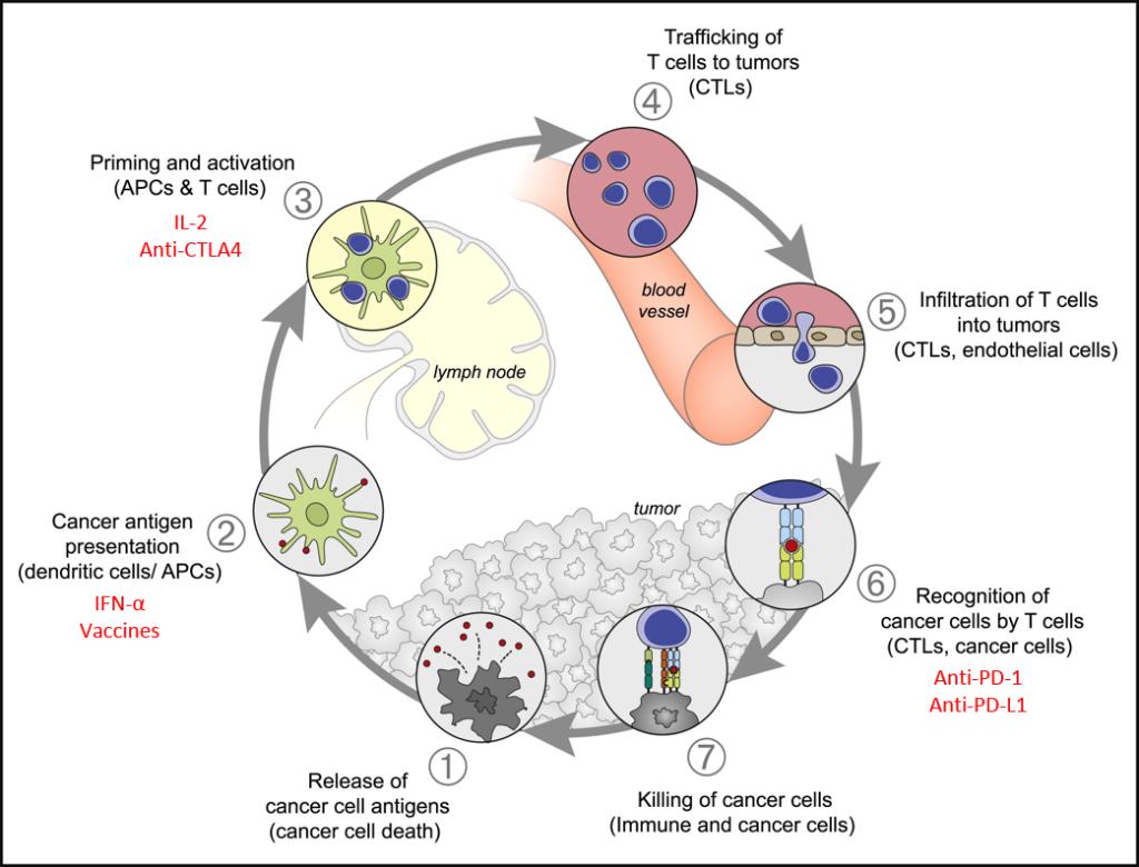 Immuno cycle